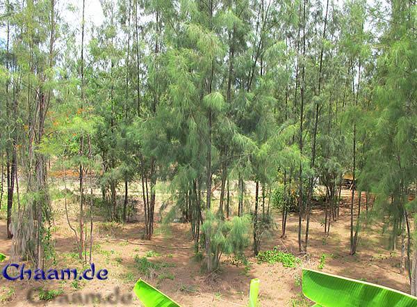 Ausblick in den Pinienwald Cha-Am Thailand